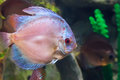 Marine fish swimming in the aquarium. Royalty Free Stock Photo