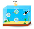 Marine food chain or food web simple the diagram shows the relationships among organisms living in an ocean producers and Stock Photography