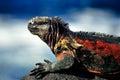Marine iguana Royalty-vrije Stock Foto's