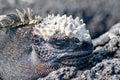 Black marine iguana Royalty Free Stock Photo