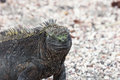 Marine iguana in closeup. Royalty Free Stock Photo
