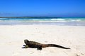 Marine iguana in the galapagos a on beach tortuga bay Stock Photography