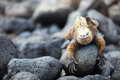 Marine iguana and Galapagos finch Stock Images