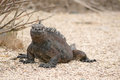 Marine iguana galapagos islands ecuador Royalty Free Stock Photo