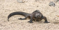 Marine iguana galapagos islands ecuador see my other works in portfolio Royalty Free Stock Photos
