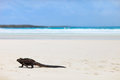 Marine iguana on a white sand beach tortuga bay at galapagos island of santa cruz Royalty Free Stock Photos
