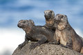Marine iguanas Royalty Free Stock Photo