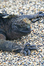 Marine Iguanas Royalty Free Stock Photography