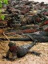 Marine iguanas sunning themselves Fotografia Stock Libera da Diritti