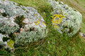 Marine lichens on coastal rocks in the maritime zone in northern scotland Royalty Free Stock Images
