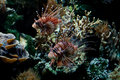 Marine life -  red lionfish Stock Photo