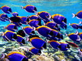 Marine life a school of surgeon fish in laamu island maldives Royalty Free Stock Photo