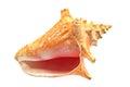 Marine sea shell isolated on white Royalty Free Stock Photography
