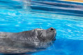 Marine seal taking  a breath in a pool - close up Royalty Free Stock Photo