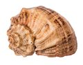 Marine seashell isolated on white background Royalty Free Stock Photo
