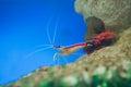 Marine shrimp lysmata amboinensis cleaner shrimp saltwater animal Royalty Free Stock Photos