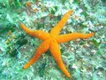 Marine star Stock Photography