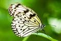 Mariposa blanca de la ninfa del árbol Fotografía de archivo