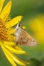 Mariposa, capitán Fotografía de archivo