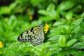 Mariposa de la ninfa del árbol del mangle Fotografía de archivo