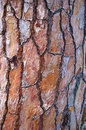 Maritime Pine Bark Royalty Free Stock Photo