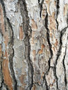Maritime pine bark background and texture of cortex typical of mediterranean seaside areas Royalty Free Stock Photography