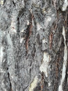 Maritime pine bark used as background texture
