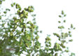 Marjoram (Origanum majorana) Royalty Free Stock Photo