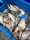 Market fish heads in blue Royalty Free Stock Photos