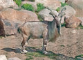 Markhoor in zoo goat park Royalty Free Stock Photos