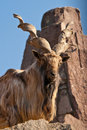 Markhor (Capra falconeri) Royalty Free Stock Images