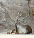 Markhor Mother and Babies Stock Photo