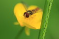 Marmalade hoverfly on the yellow flower Royalty Free Stock Image