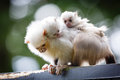 Marmoset family Royalty Free Stock Image