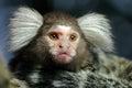 Portrait of Marmoset monkey Royalty Free Stock Photo