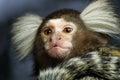 Marmoset monkey Royalty Free Stock Photo