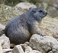 Marmot 2 Royalty Free Stock Photos