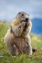 Marmot Stock Fotografie