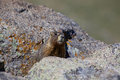Marmot in alpine rocks a yellow bellied some the rugged high Stock Image