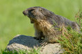 Marmot of the alps launches cry alarm predators Royalty Free Stock Photos