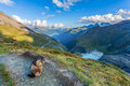 Marmot in the austrian alps mountain landscape with a focus on Royalty Free Stock Photos