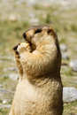 Marmot with bisquit on the meadow ladakh india Stock Image