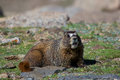 Marmot calling out a yellow bellied above timberline sounding an alarm Royalty Free Stock Images