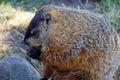 Marmot a eating a strawberry Stock Photos