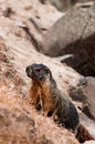 Marmot giant rock squirrel climbing an adult or mountain seen standing on two legs these marmots are that are mainly seen in Royalty Free Stock Photo