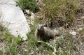 Marmot a in the grand teton national park this was taken from the western side of the range Stock Photography
