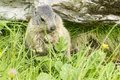 Marmot on the hillside in alps Royalty Free Stock Photo