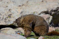 Marmot with and itch a yelow bellied scratching an above timberline Royalty Free Stock Images