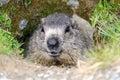 Marmot in its burrow closeup Royalty Free Stock Photography