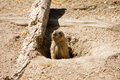 Marmot looking out of the hole in ground Stock Photos